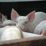 pigs_DSCN0836_pc